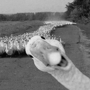 Goose always stands out from the crowd