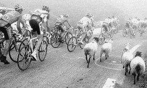 Both the peloton and flock breathed more easily once they realised Ovis wasn't there and there wasn't going to be a crash.