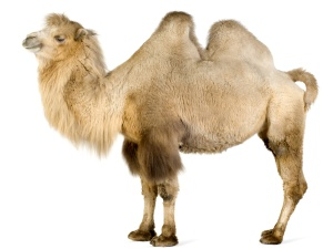 Camel_on_white_2560x1920-Wallpaper